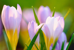Blue crocus background Royalty Free Stock Photography