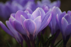 Blue crocus Royalty Free Stock Photography