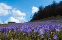 Blue crocus in Carpathian Mountains. Crocus carpet near Bran durring spring stock image
