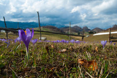 Blue crocus on Carpathian Mountains. Crocus carpet near Bran durring spring royalty free stock photo