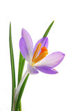 Blue crocus flower Royalty Free Stock Images