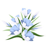 Blue crocus flowers. Royalty Free Stock Photo