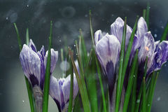 Blue crocus flowers spring Royalty Free Stock Photo