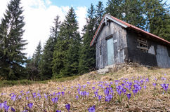 Blue crocus in forest Stock Photography