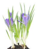 Blue crocus on white background Royalty Free Stock Photos