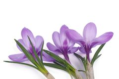 Blue crocus  on white background Stock Photos