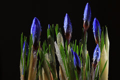 Blue crocuses Royalty Free Stock Photography