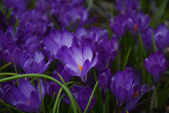 Blue crocuses in the garden. Lawn with blooming blue crocuses in the garden Stock Image