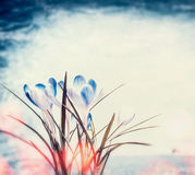 Blue crocuses spring flowers on sky background and bokeh l Royalty Free Stock Photography