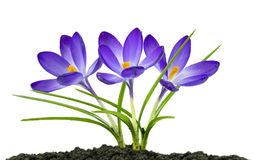 Blue Crocuses. View of three blue crocuses on a white background sitting on the earth Royalty Free Stock Photos
