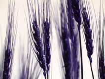 Blue Crop Stock Photo