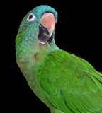 Blue Crown Conure Royalty Free Stock Photography