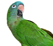 Blue Crown Conure Stock Photo