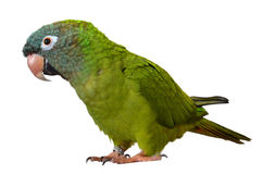 Blue Crown Conure. Isolated Blue Crown Conure close up Stock Image
