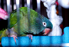 Blue Crowned Conure. My blue crown conure, Tequila, peering out from inside his cage royalty free stock image