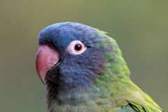 Blue crowned conure. Aratinga acuticaudata, closeup of face Royalty Free Stock Images