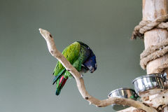 Blue-Crowned-Conure Stock Photos