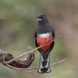Blue-Crowned Female Trogon Royalty Free Stock Photos