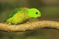 Blue-crowned hanging parrot Royalty Free Stock Photos