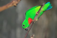 Blue-crowned hanging parrot Stock Photos
