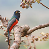 Blue-Crowned Male Trogon. On a fruit tree, Pantanal, Brazil Royalty Free Stock Images