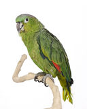 Blue Crowned Mealy Amazon Parrot Stock Photo