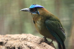 Blue-crowned mormot Royalty Free Stock Photo
