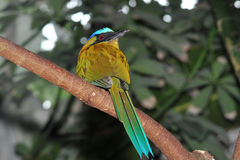 Blue crowned motmot. The Blue-crowned Motmot, Momotus momota, is a colourful near-passerine bird found in forests and woodlands of eastern Mexico, Central Royalty Free Stock Photography
