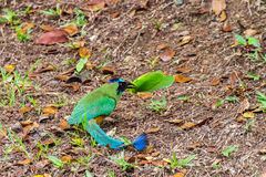 Blue-crowned Motmot with big Katydid. Royalty Free Stock Images