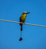 Blue-crowned motmot bird front view against blue sky. Closeup of Blue-crowned motmot bird over cable and blue sky, front view royalty free stock photo