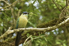 Blue-crowned Motmot Royalty Free Stock Image