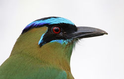 Blue-crowned Motmot Stock Photos