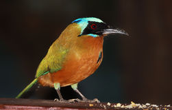 Blue-crowned Motmot (Momotus momota) 02  Royalty Free Stock Photo