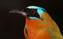 Blue-crowned Motmot (Momotus momota) Stock Photography