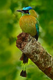 Blue-crowned Motmot, Momotus momota, portrait of nice big bird wild nature, beautiful coloured forest background, art view, Panama Stock Images