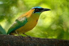 Blue-crowned Motmot, Momotus momota, portrait of nice big bird wild nature, beautiful coloured forest background, art view, Salvad. Or Royalty Free Stock Photos