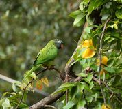 Blue Crowned Parakeet royalty free stock photo
