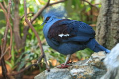 Blue crowned pigeon Stock Images