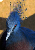 Blue-crowned Pigeon Stock Images