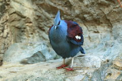 Blue-crowned pigeon Stock Photo