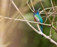The Blue-crowned Trogon Royalty Free Stock Photos