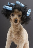 Blue Curlers and Big Hair On Little Poodle Stock Photo