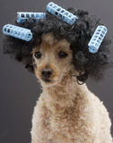 Blue Curlers and Big Hair On Poodle Royalty Free Stock Image