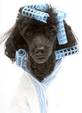 Blue Curlers and Matching Bathrobe On A Poodle Royalty Free Stock Photography