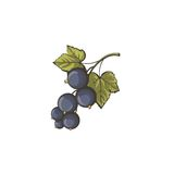 Blue currant retro illustration isolated on white background. Royalty Free Stock Photography