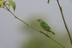 Blue dacnis, Dacnis cayana Royalty Free Stock Photography