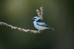 Blue dacnis, Dacnis cayana. Single male on branch, Brazil royalty free stock photos