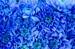 Blue Dahlia Royalty Free Stock Photo