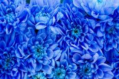 Blue Dahlia Royalty Free Stock Photo