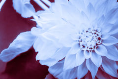 Blue Dahlia Inverted Stock Photos